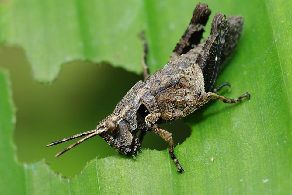 棕長頸捲葉象鼻蟲