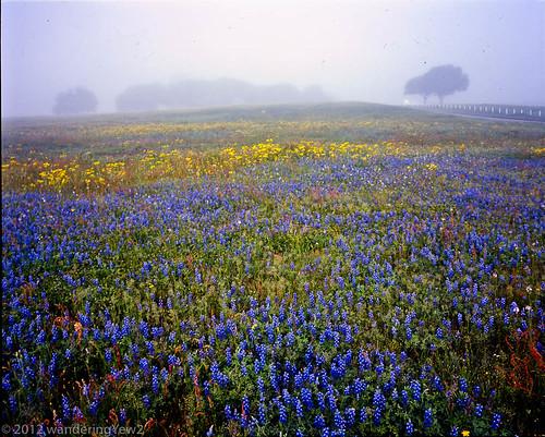 flower 120 mamiya film fog mediumformat geotagged texas bluebonnet 6x7 wildflower filmscan indianpaintbrush texaswildflowers mamiya7ii austincounty geo:lat=29972884 geo:lon=9648471