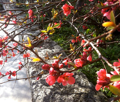 Flowering Quince and Stone Wall (Digitally Modified Photo) by randubnick