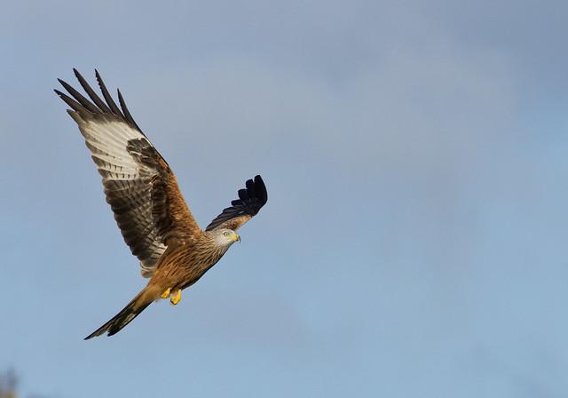 red kite 11