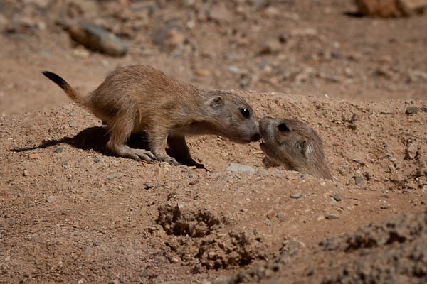 Six Week Old Prairie Dog Babies