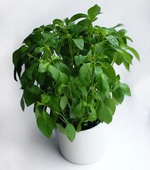 Potplant kemangi of kemangiga