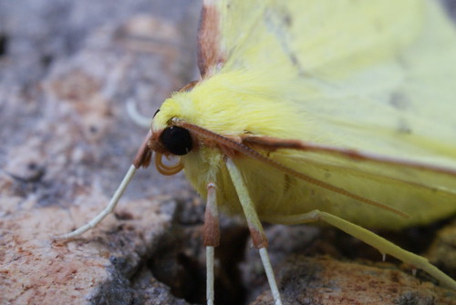 Brimstone (Opisthograptis luteolata) close-up