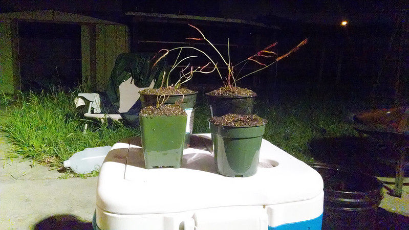 Three Drosera varieties potted up outside at night.