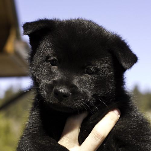 Kumi-Litter4-Day46-Puppy1-Male(-)-1