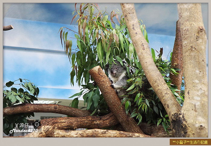 木柵動物園(圓仔)91