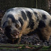 Domestic Pig - Photo (c) only_point_five, some rights reserved (CC BY-NC)