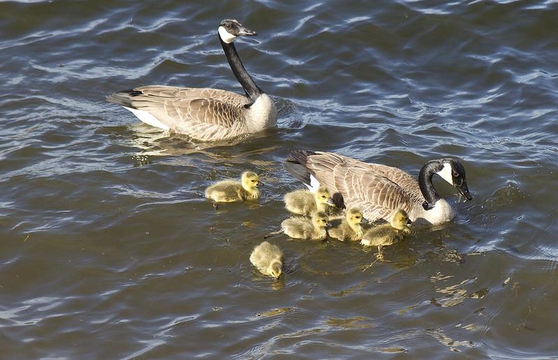 goose family3