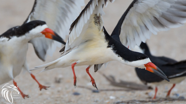 Birds of Belmar - Black Skimmer - 4