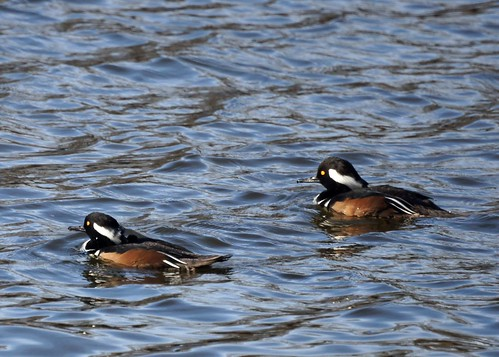Two Hooded Mergansers