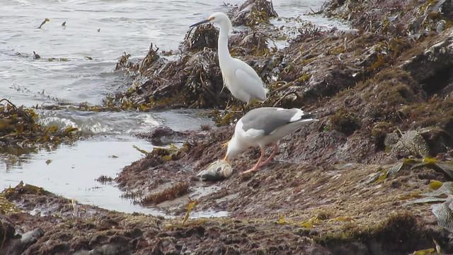 MVI_0227 gull working over dead fish