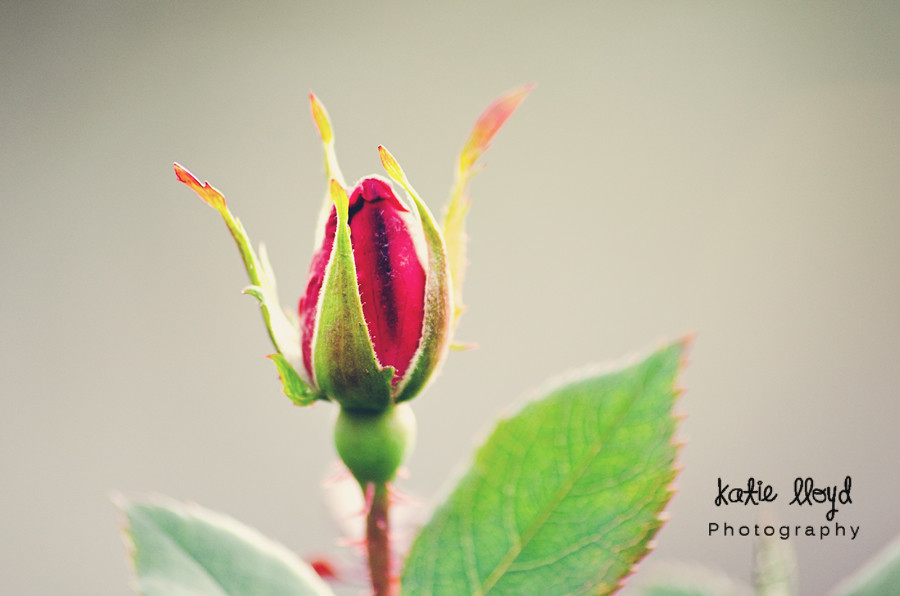 Gray---Rose-Bud-wm