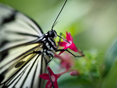 Butterfly Dreams-1