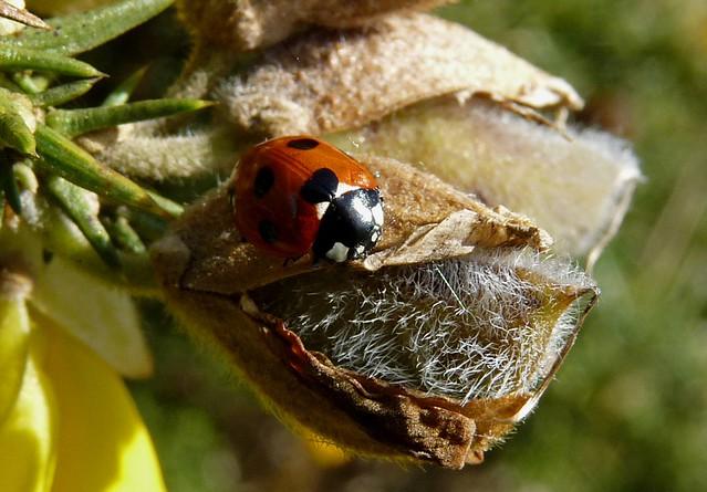25598 - 7 Spot Ladybird, Dryslwyn