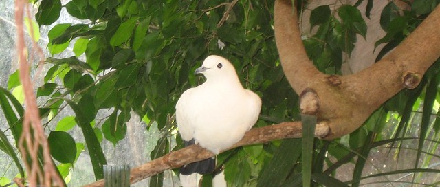 White dove at Newquay Zoo, Cornwall