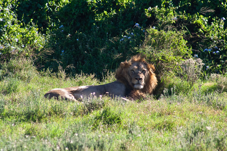 Addo Lions
