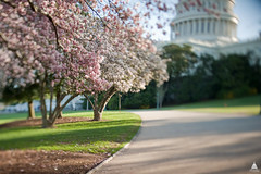 Spring cherry blossoms in front of the Capitol