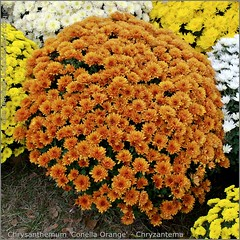 Chrysanthemum 'Conella Orange' - Chryzantema 'Conella Orange'