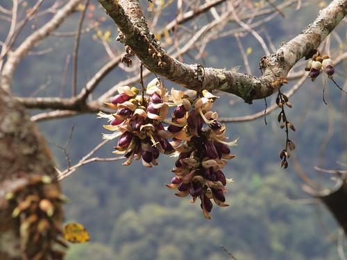 血藤的花為總狀花序