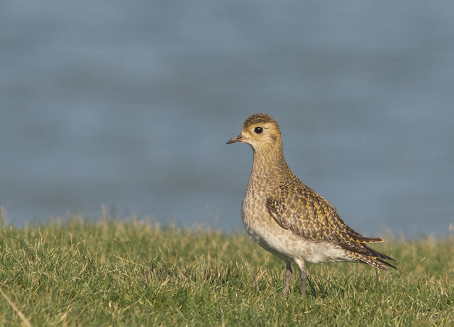 golden plover on cliff sigam 150-500mm