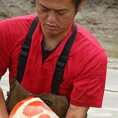 Okawa harvesting nishikigoi