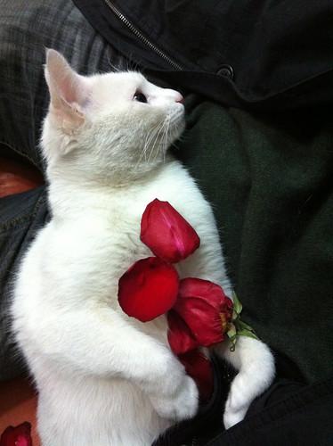 baicaitou-rose