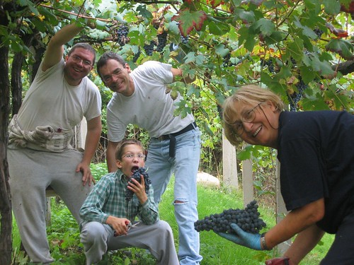 grape harvesting fun