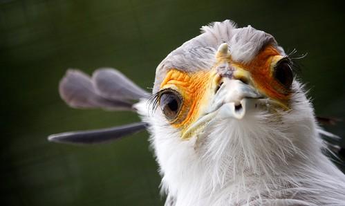 無料写真素材, 動物 , 鷹・鷲, ヘビクイワシ