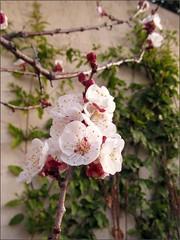 Blenheim apricot blossoms