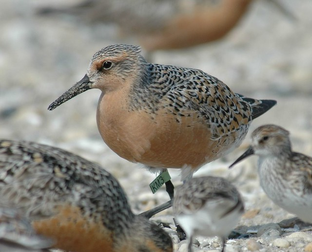 Red Knot at Delaware Bay DSC_0335