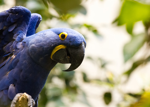 Hyacinth Macaw by Shiny Dewdrop
