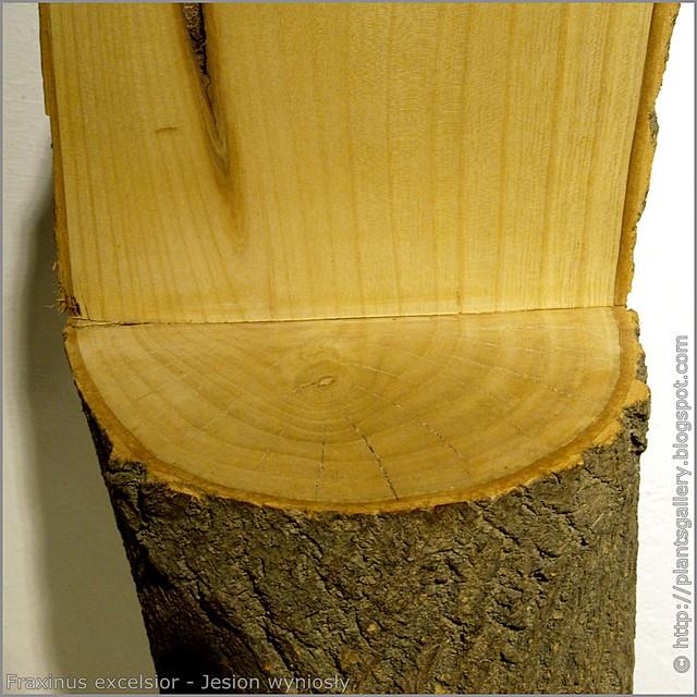 IMGP7613 Fraxinus excelsior - Jesion wyniosły przekrój pnia słoje