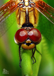 Dragon Fly Macro