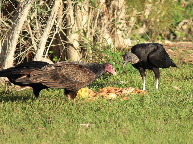 Black Vulture with painted legs 20120221