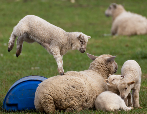 Leaping Lambs for Leap Year (9 of)