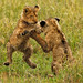 Ngorongoro Lion Cubs at play _GS18004
