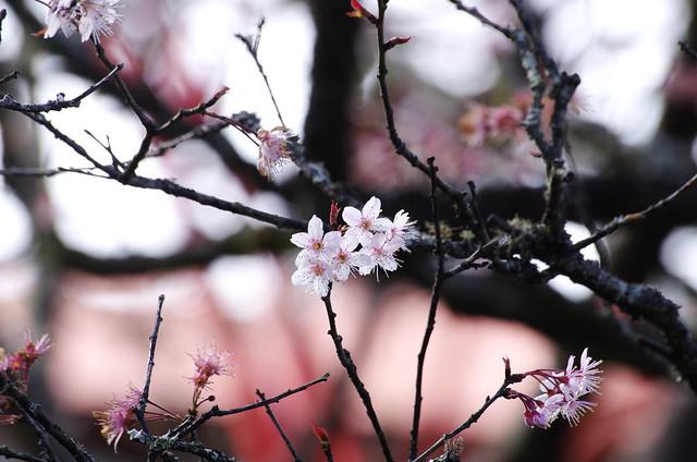 2012/03/03 阿里山賞櫻花
