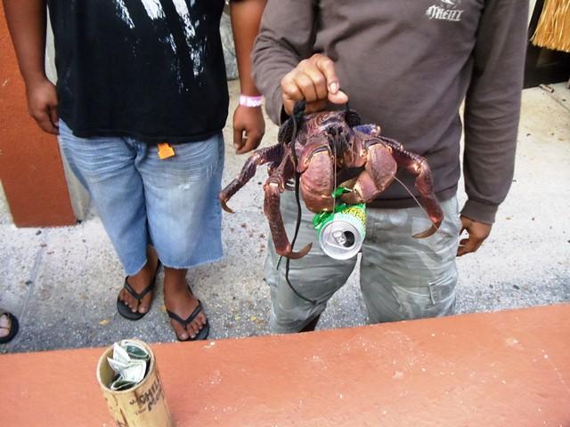 Coconut Crab of Guam (7)