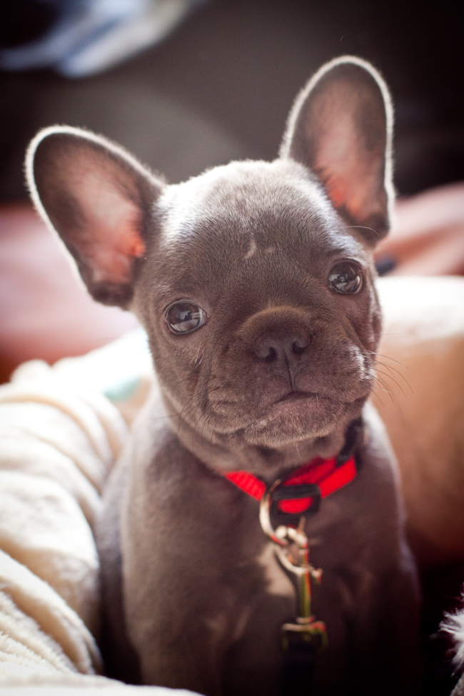 Meet Olive Our French Bulldog Puppy Uberlin