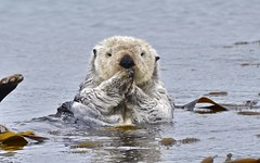 animal, marine mammal, fauna, sea otter, wildlife,