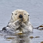 Sea Otter by goingslo