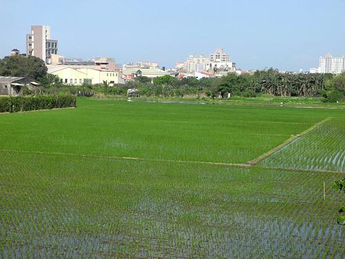 Hsinchu Rice Paddies