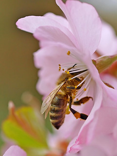 A honey bee working on a Japanese Cherry flower.