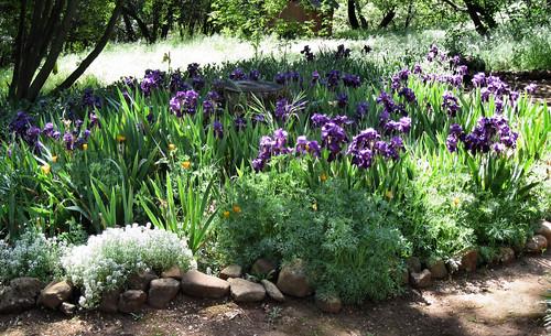 purple_iris_garden