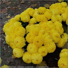 Chrysanthemum 'Golden Creamist' - Chryzantema
