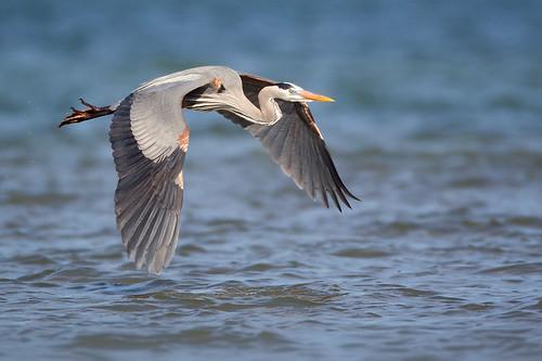 Skimming Heron by Jeff Dyck