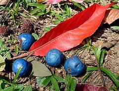rudraksha fruit