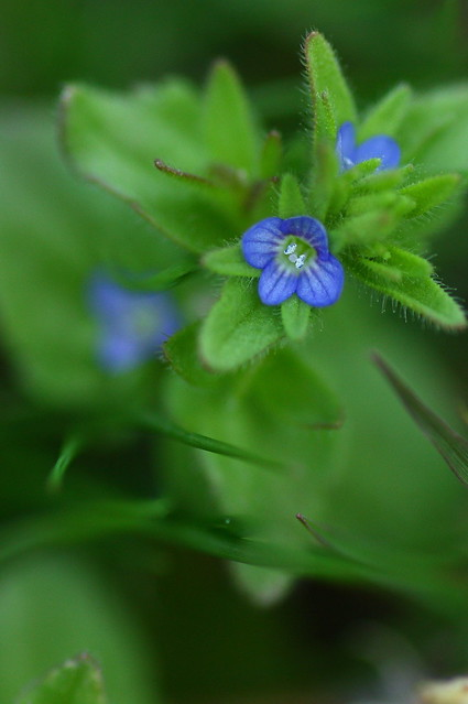 Veronica arvensis タチイヌノフグリ