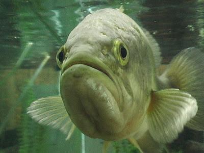 aquarium_bass