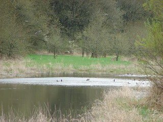 Ring-necked ducks (at least most of them were)
